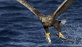 White-tailed Eagle capturing fishes - Norway