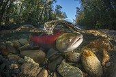Sockeye Salmon under water - Adams River Canada