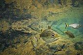 Fresh water Bass in freshwater stream - New Caledonia