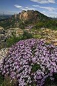 Rock soapwort in bloom in Catalonia - Spain