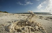 Horned Ghost crab with burrow and mound - New Caledonia