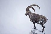 Old male Alpine Ibex in snow - Alps Switzerland