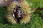Chestnuts in their bug on ground - Monts d'Ardèche France