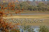 Common Cranes on the Lac du Der in low water - France