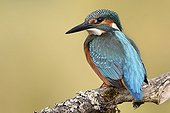 Common Kingfisher on the lookout on a branch - France ; Allan Natural Area