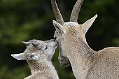 Female Alps Ibex and young - Creux du Van Switzerland