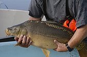Leather carp caught in a fishing net - France