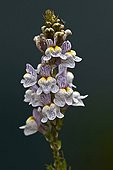 Toadflax in bloom in Catalonia - Spain