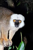Male White-fronted Brown Lemur - Madagascar