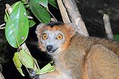 Portrait of Male Crowned Lemur in forest - Madagascar