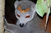 Portrait of female Crowned Lemur in forest - Madagascar