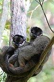 Brown lemurs on a forest branch - Madagascar