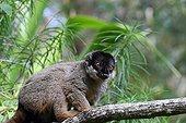 Brown lemur on a forest branch - Madagascar