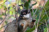 Brown lemur eating in forest - Madagascar