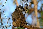 Brown Lemur female and young on a branch - Madagascar