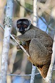 Brown Lemur on a branch in forest - Madagascar