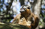 Brown Lemur on a rock in forest - Madagascar