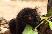 Portrait of Black Lemur ground in the forest - Madagascar