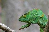 Female Parson's Chameleon on a branch - Madagascar