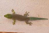 Banded Day Gecko on a wall - Madagascar