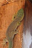 Banded Day Gecko on a beam - Madagascar