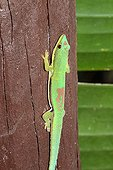 Striped Day gecko on balustrade - Madagascar
