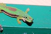 Striped Day gecko on railing - Madagascar