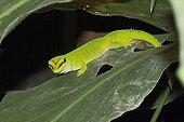 Madagascar Day Gecko on a leaf - Madagascar