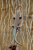 Thicktail Day Gecko on a trunk - Madagascar