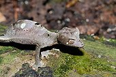 Satanic leaf-tailed gecko on bark - Madagascar