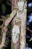 Southen Flat-tailed Gecko on bark - Madagascar