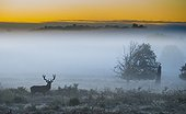 Stag Red Deer standing in the tall grass - GB