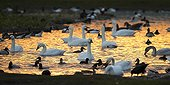 Bewick's Swans swimming at sunrise in winter - GB