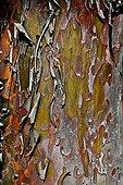 Monterey cypress bark detail in Catalonia - Spain