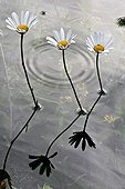 Oxeyedaisy nearly underwater in Catalonia - Spain