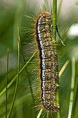 Lackey caterpillar on grass in Catalonia - Spain