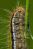 Lackey caterpillar portrait on grass in Catalonia - Spain