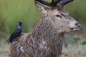 Jackdaw foraging on the back of a stag - GB