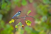 Great Tit perched on a oak in autumn - GB