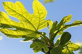 Fig-tree leaf in a city garden