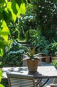 Agave on a city garden terrace