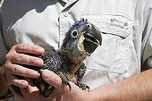 Young Hyacinth Macaw hand-held ; Age: 40 days