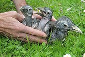 Black-billed Hornbills Young laid in the grass