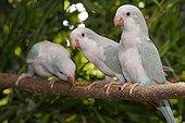 Conures veuves 'Bleu Cinamon' sur une branche