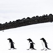 Adelie Penguins walking on ice - Antarctica