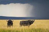 African buffalo in the savannah - Masai Mara Kenya
