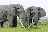 Eléphants d'Afrique mâles mangeant - Amboseli Kenya