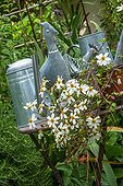Watering cans and daisies in a city garden