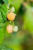Raspberry 'FallGold' in a kitchen garden