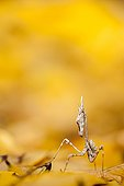 Conehead mantis larva on dead leaves in scrubland - France